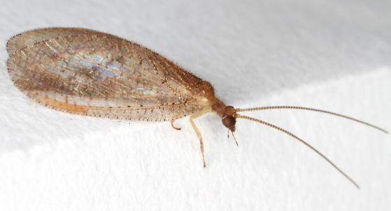 Brown Lacewing - Micromus posticus