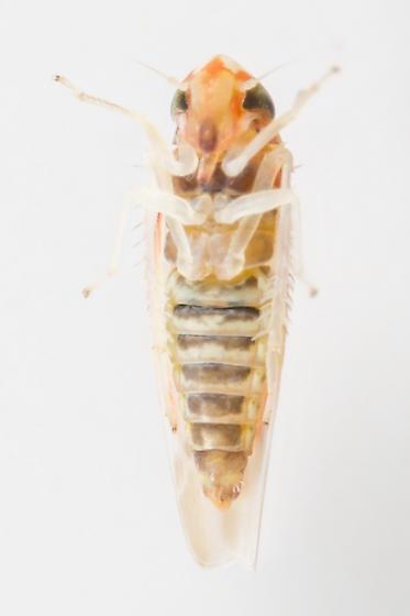 Leafhopper - Erythridula infinita - male