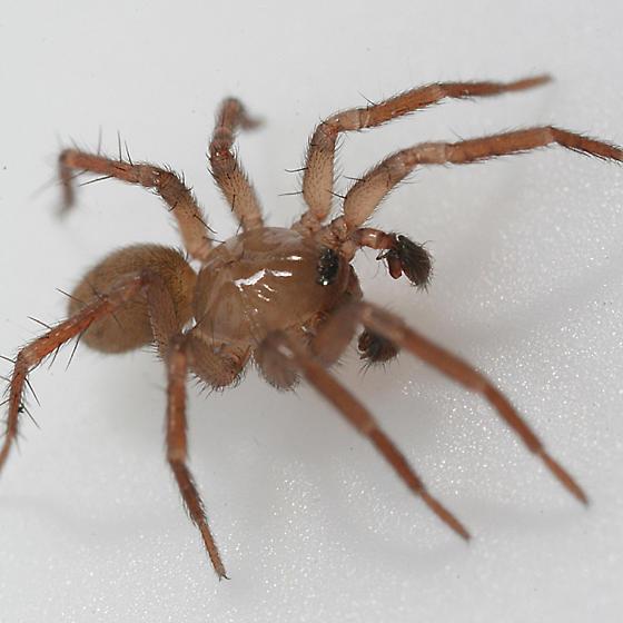 arachnid cicurina