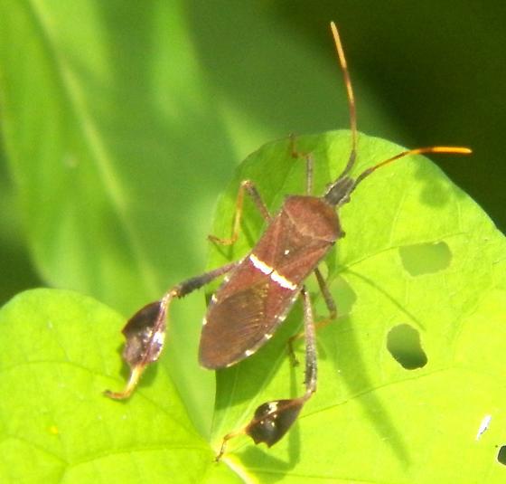 Bug 081416ccok - Leptoglossus phyllopus