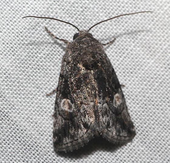 dark moth - Copanarta aurea