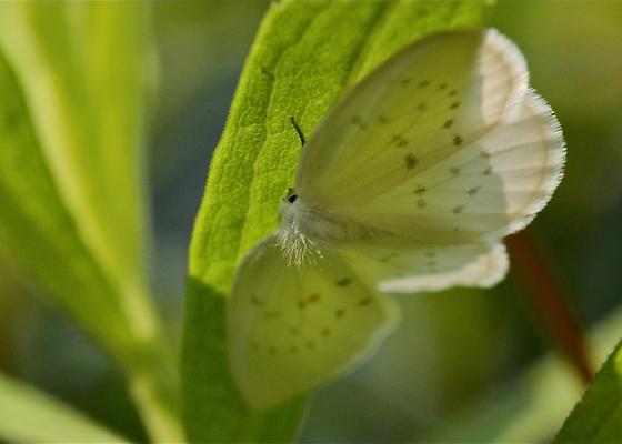 White Moth - Eudeilinia herminiata