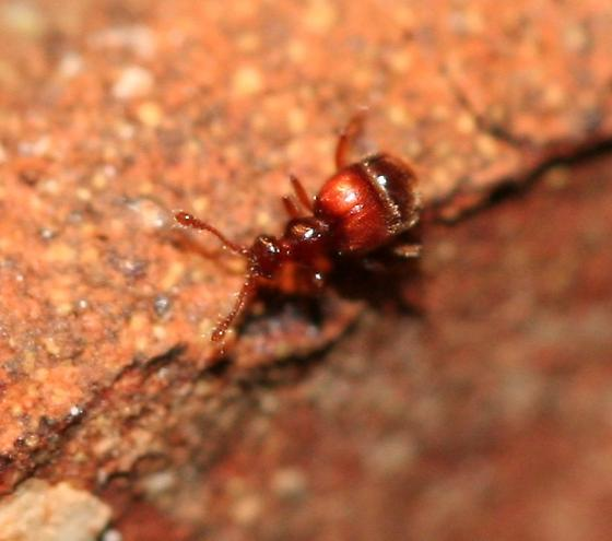 Ant-like Stone Beetle? - Nisaxis
