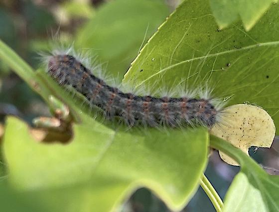 Hairy caterpillar - Hyphantria cunea