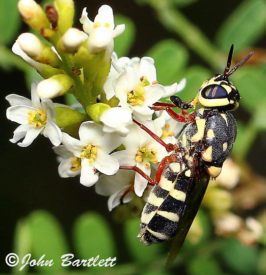 Psellidotus novella - female
