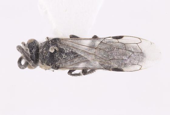 Crabronidae