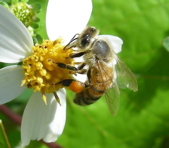 Unknown Bee. - Apis mellifera - female