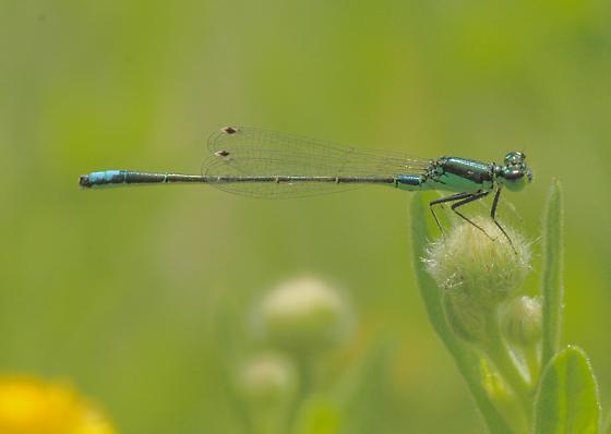 California Damsel 6 - Ischnura denticollis - male