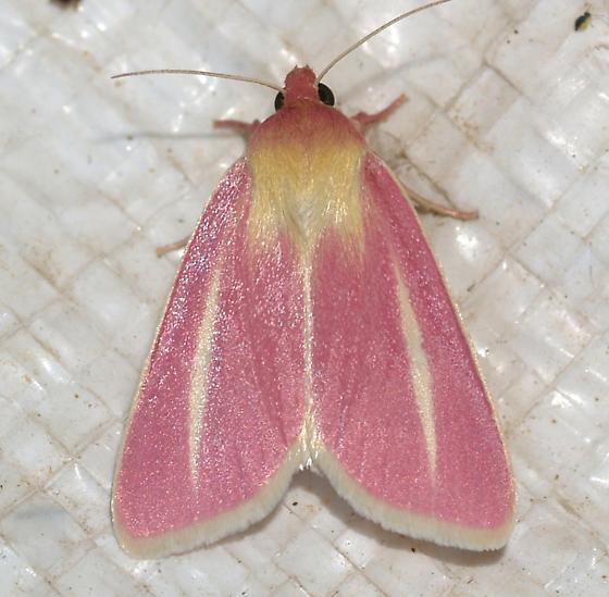 Moth - Heliocheilus julia