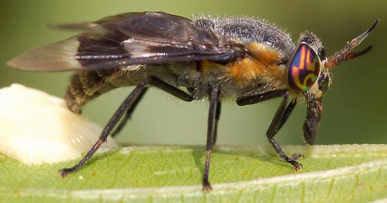 Deer fly laying eggs - Chrysops cincticornis - female