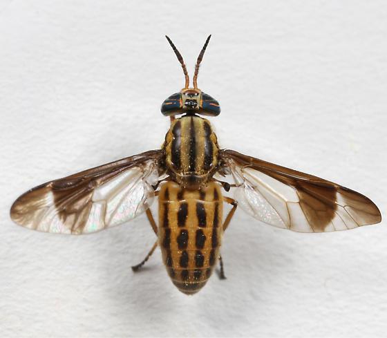 BG1640 E1812 - Chrysops beameri - female