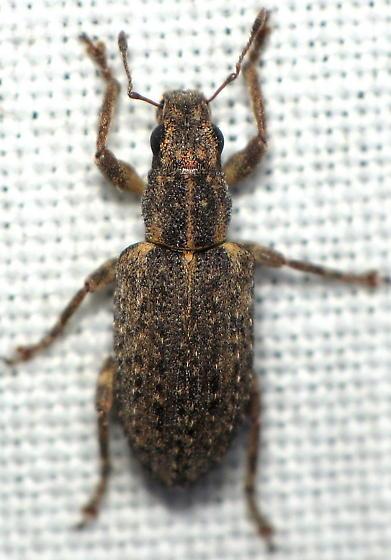 Unknown Entiminae - Sitona californius