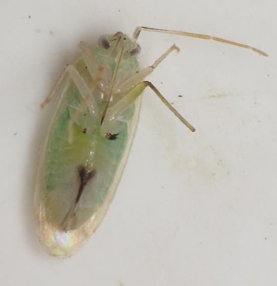 mirid 3 - Americodema nigrolineatum