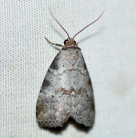 Dotted Graylet Moth, 9037 - Hyperstrotia pervertens