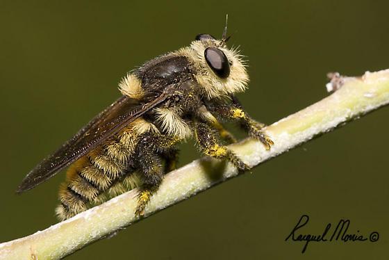 Bee Imposter - Mallophora fautrix