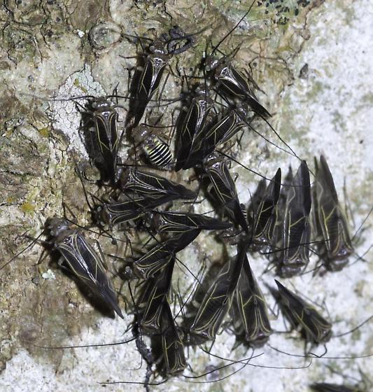 bark lice - Cerastipsocus venosus