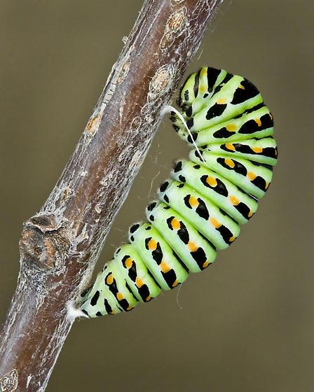 prepupa, 05/30/09 - Papilio zelicaon