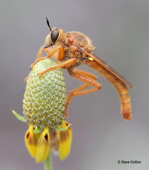 Ospriocerus - Ospriocerus latipennis - male