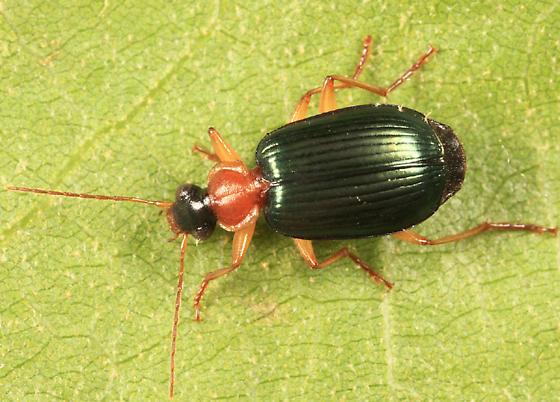 Ground Beetle - Lebia tricolor