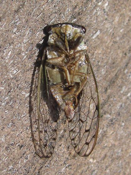 Little Mesquite Cicada? - Pacarina puella