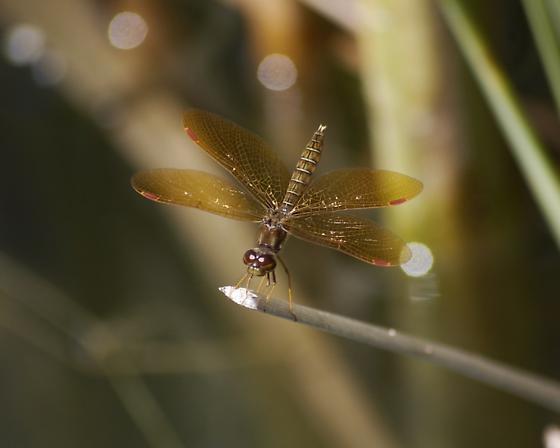 Eastern amberwing - Perithemis tenera - Perithemis tenera - male
