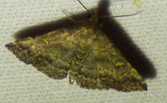 unknown moth - Tetanolita floridana