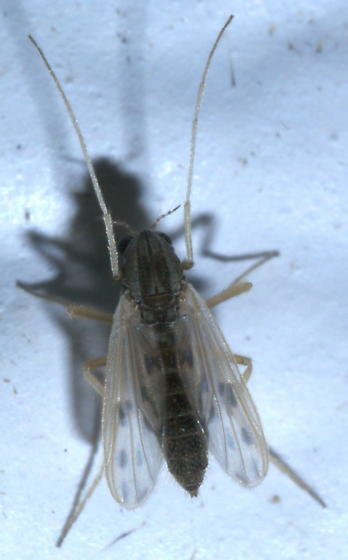 Brown midge with spotted wings and white legs - female