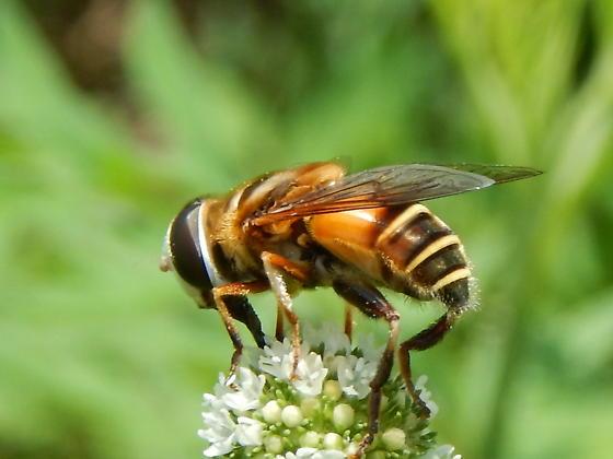 syrphidae - Palpada vinetorum - female