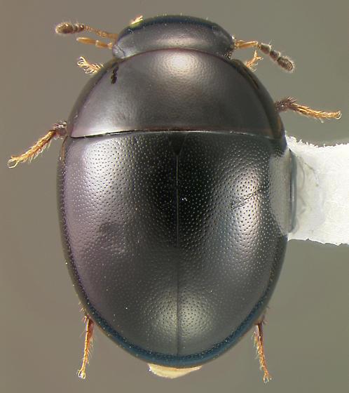 Hydrophilid - Phaenonotum exstriatum