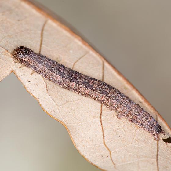 Phoberia ingenua
