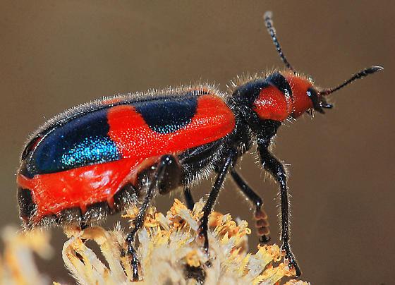 Aulicus monticola