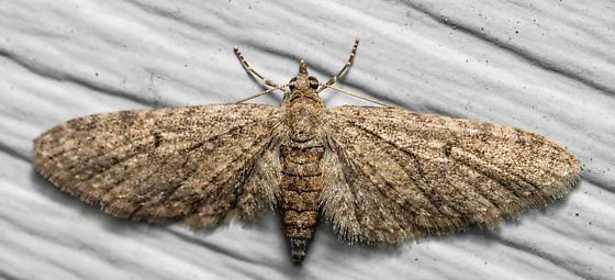 Eupithecia  - Eupithecia