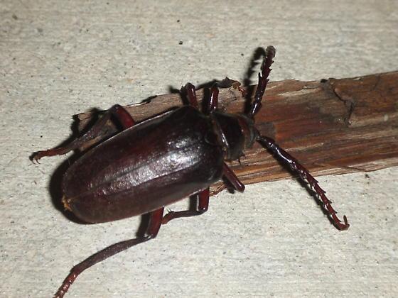 root borer beetle - Prionus californicus