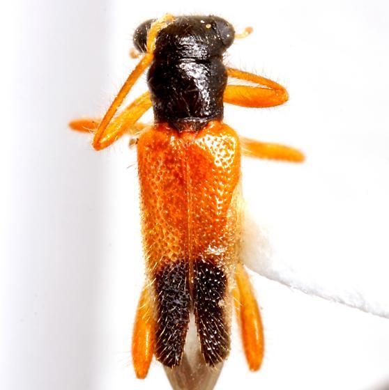 Isohydnocera schusteri (Leconte) - Isohydnocera schusteri