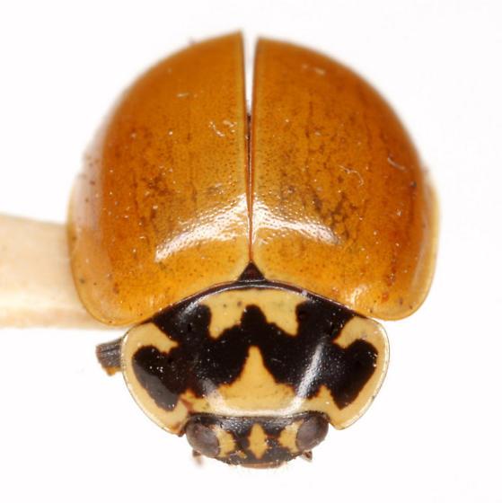 Mulsantina picta (Randall) - Mulsantina picta