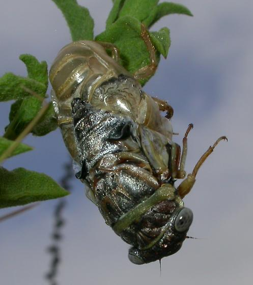 Cicada - Diceroprocta viridifascia