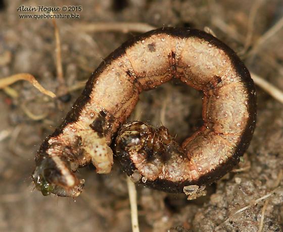 Caterpillar - Xanthorhoe ferrugata