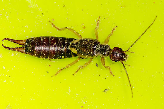 another in the seed - Forficula auricularia - female