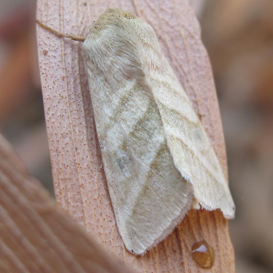 Fuzzy moth resting on dead leaf - Chloridea virescens