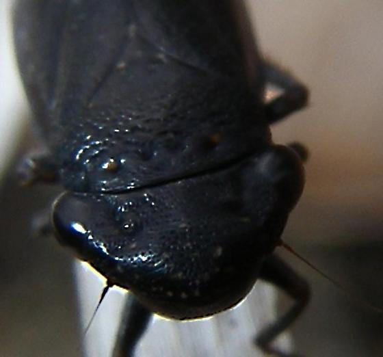 black planthopper? of inland barren dunes new Image 2 of 4 same Individual - Cuerna