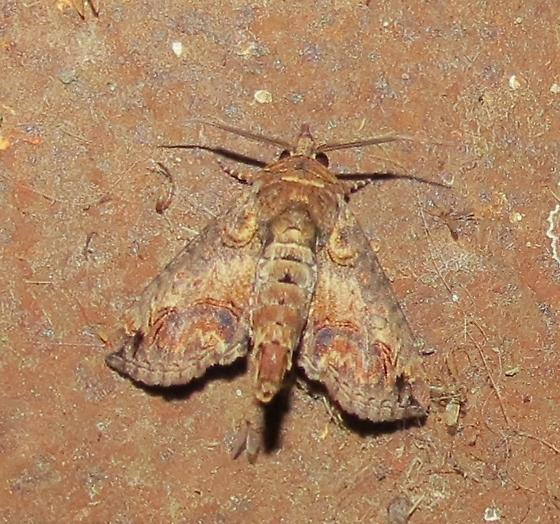 camouflage - Paectes abrostoloides