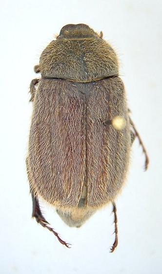 Phyllophaga crenulata - female