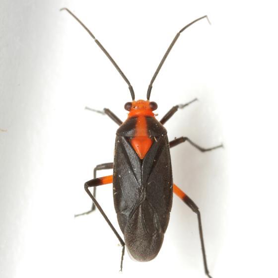 Prepops rubrovittatus (Stål) - Prepops rubrovittatus