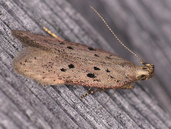 Ten-spotted Honeysuckle Moth - Athrips mouffetella