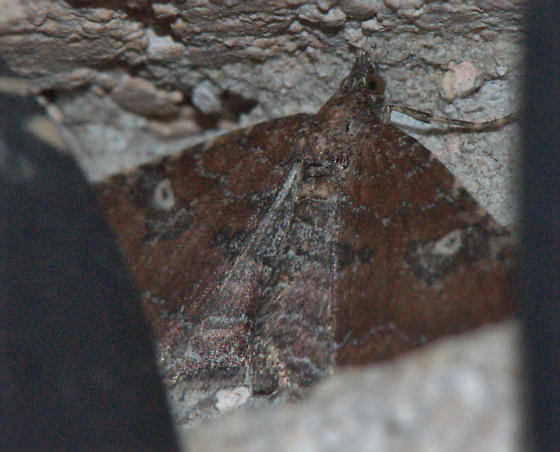 Brown moth with white dot on each wing - Orthonama obstipata