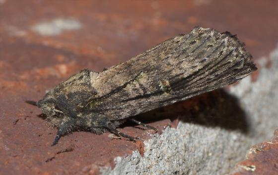 Brown and black moth - Schizura ipomaeae