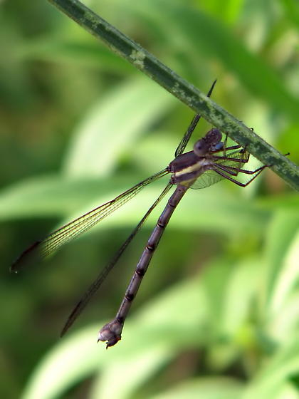 Carolina Spreadwing? - Archilestes grandis