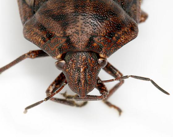 Shieldbacked pine seed bug
