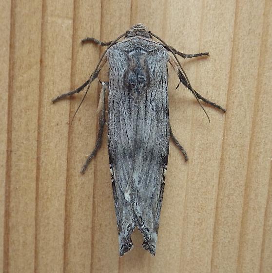 Noctuidae: Lithomoia germana - Lithomoia germana