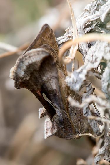 Camo Moth - Anagrapha falcifera